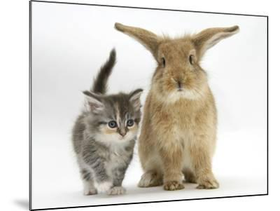 Tabby Kitten with Sandy Lionhead-Cross-Mark Taylor-Mounted Photographic Print