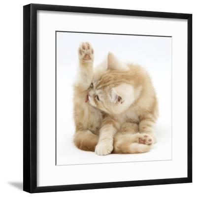 Ginger Kitten 'Funnel-Grooming'-Mark Taylor-Framed Photographic Print