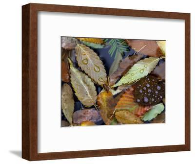 Autumn Leaves Float in a Pond at the Japanese Garden of Portland, Oregon, Tuesday, October 24, 2006-Rick Bowmer-Framed Photographic Print
