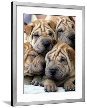 Chineses Shar-Pei Puppies are Displayed for Sale--Framed Photographic Print