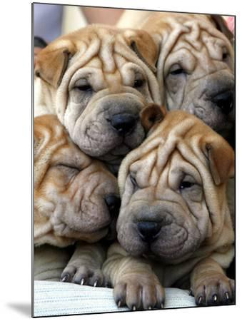 Chineses Shar-Pei Puppies are Displayed for Sale--Mounted Photographic Print