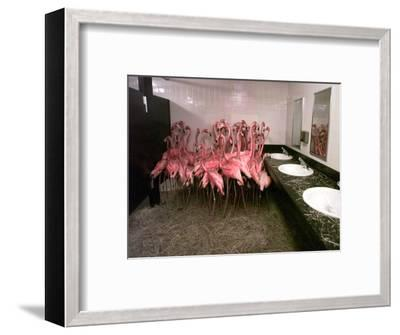 Caribbean Flamingos from Miami's Metrozoo Crowd into the Men's Bathroom--Framed Photographic Print