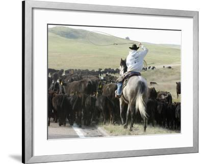 A Cow Hand Drives Cattle--Framed Photographic Print