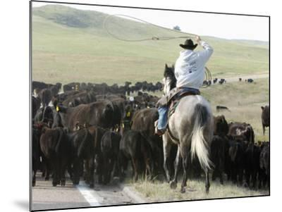 A Cow Hand Drives Cattle--Mounted Photographic Print