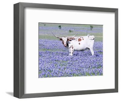 Longhorn Grazing on Bluebonnets, Midlothian, Texas-Pat Sullivan-Framed Photographic Print