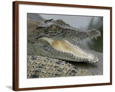 A Young Saltwater Crocodile--Framed Photographic Print