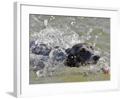 A Mini Italian Greyhound Named Gi--Framed Photographic Print