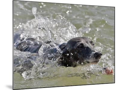 A Mini Italian Greyhound Named Gi--Mounted Photographic Print