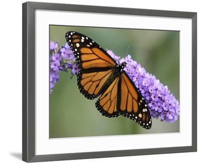 A Monarch Butterfly Spreads its Wings as It Feeds on the Flower of a Butterfly Bush--Framed Photographic Print