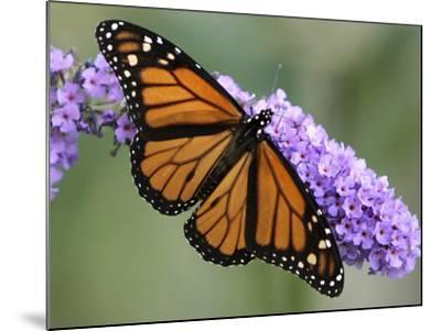 A Monarch Butterfly Spreads its Wings as It Feeds on the Flower of a Butterfly Bush--Mounted Photographic Print