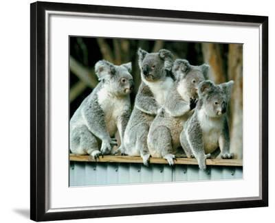 A Group of Koalas Gather Atop a Fence--Framed Photographic Print