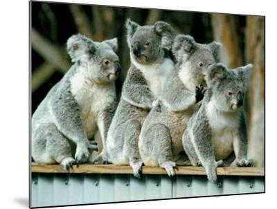 A Group of Koalas Gather Atop a Fence--Mounted Photographic Print