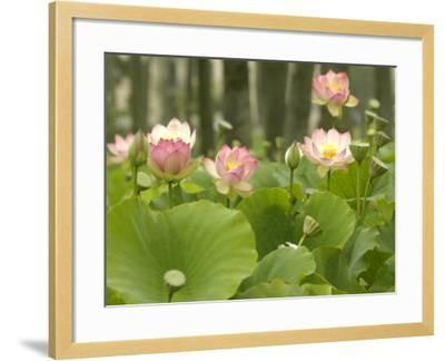 Blooming Water Lotuses Carpet Echo Park Lake--Framed Photographic Print