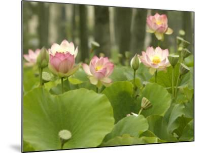 Blooming Water Lotuses Carpet Echo Park Lake--Mounted Photographic Print