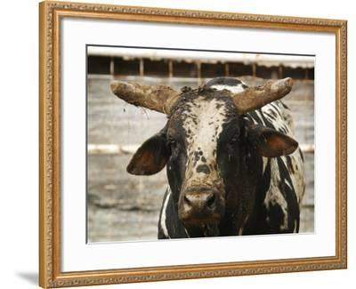 Championship Bulls at the Mequite Rodeo Ranch-Tim Sharp-Framed Photographic Print