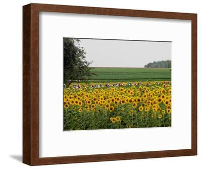 The Pack Rides Past a Sunflower Field During the Sixth Stage of the Tour De France--Framed Photographic Print