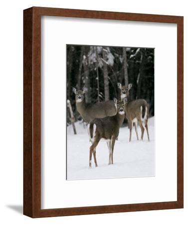 A Small Herd of White-Tailed Deer Wait at the Edge of the Woods--Framed Photographic Print