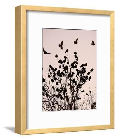 Crows Fly Over a Tree Where Others are Already Camped for the Night at Dusk in Bucharest Romania--Framed Photographic Print