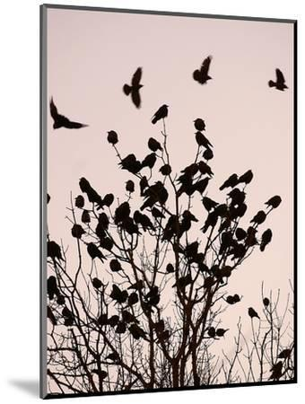 Crows Fly Over a Tree Where Others are Already Camped for the Night at Dusk in Bucharest Romania--Mounted Photographic Print