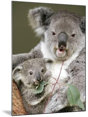 An 8-Month-Old Koala Joey--Mounted Photographic Print