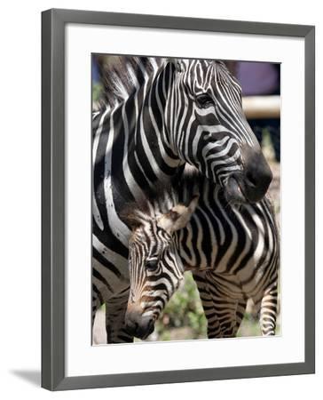 A Male Baby Zebra Named Roger--Framed Photographic Print