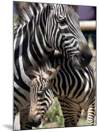 A Male Baby Zebra Named Roger--Mounted Photographic Print