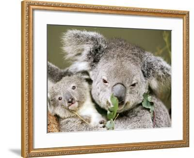 An 8-Month-Old Koala Joey--Framed Photographic Print