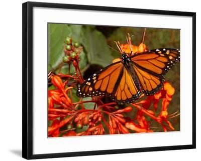 A Monarch Butterfly Rests on the Flowers of a Pagoda Plant--Framed Photographic Print
