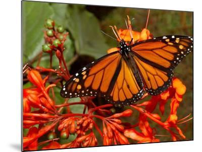 A Monarch Butterfly Rests on the Flowers of a Pagoda Plant--Mounted Photographic Print