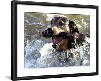 Summer a Labrador Retriever-Rottweiler Crossbreed Swims--Framed Photographic Print