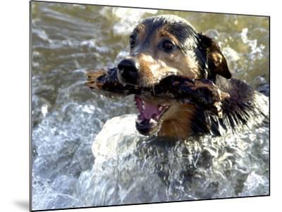 Summer a Labrador Retriever-Rottweiler Crossbreed Swims--Mounted Photographic Print