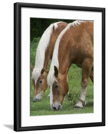 Belgian Draft Horses Jim, Right, and Jake Graze--Framed Photographic Print