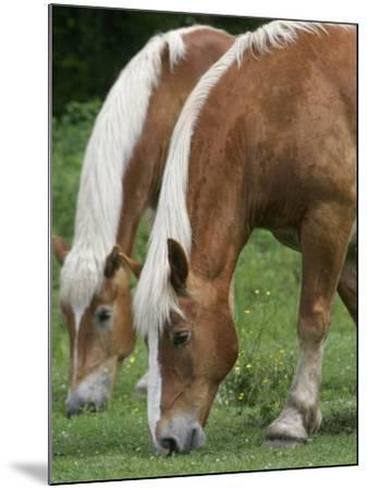 Belgian Draft Horses Jim, Right, and Jake Graze--Mounted Photographic Print