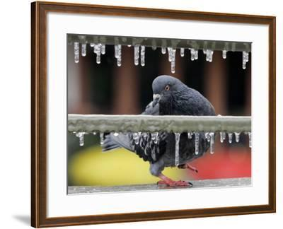Pigeon Slides Along the Ice in Downtown San Antonio,--Framed Photographic Print