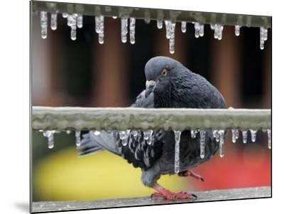 Pigeon Slides Along the Ice in Downtown San Antonio,--Mounted Photographic Print
