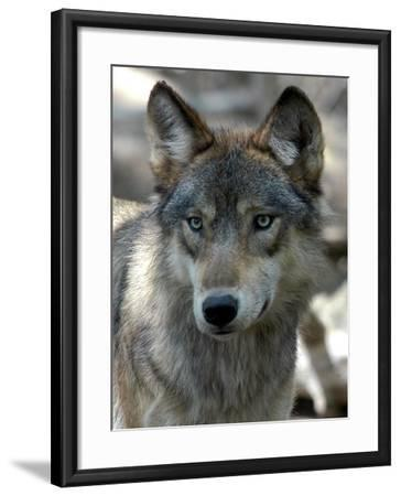 Gray Wolf Endangered-Dawn Villella-Framed Photographic Print