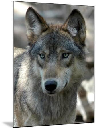 Gray Wolf Endangered-Dawn Villella-Mounted Photographic Print