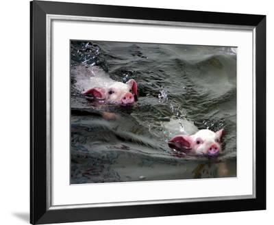 Pigs Compete Swimming Race at Pig Olympics Thursday April 14, 2005 in Shanghai, China-Eugene Hoshiko-Framed Photographic Print