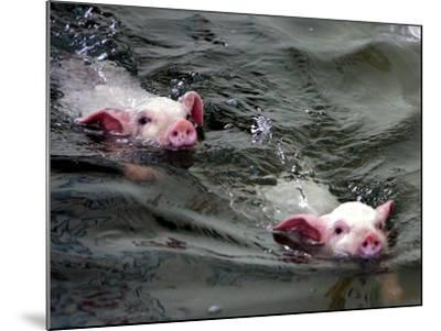Pigs Compete Swimming Race at Pig Olympics Thursday April 14, 2005 in Shanghai, China-Eugene Hoshiko-Mounted Photographic Print