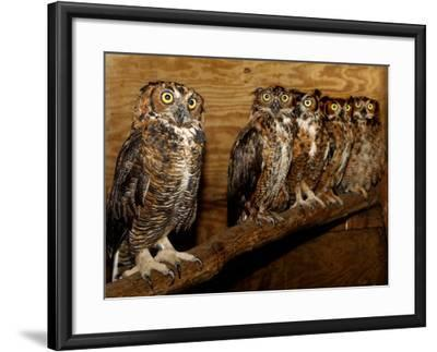 Five Great Horned Owls--Framed Photographic Print