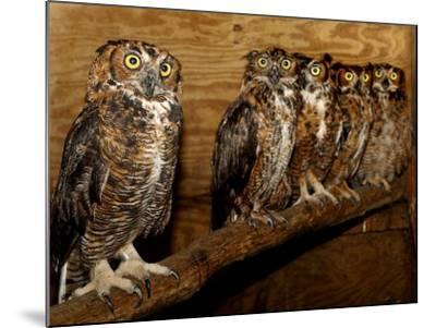 Five Great Horned Owls--Mounted Photographic Print