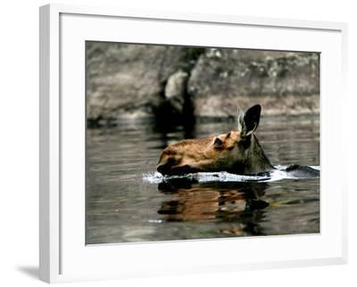 A Moose Cools Off--Framed Photographic Print