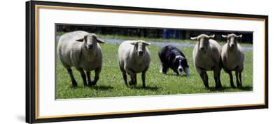 A Border Collie Demonstrates Sheep Herding--Framed Photographic Print