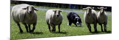 A Border Collie Demonstrates Sheep Herding--Mounted Photographic Print