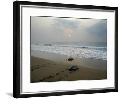 Olive Ridley Turtles Return to the Bay of Bengal Sea after Laying Eggs on Gokhurkuda Beach, India--Framed Photographic Print