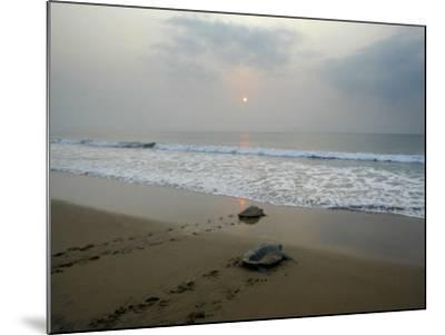 Olive Ridley Turtles Return to the Bay of Bengal Sea after Laying Eggs on Gokhurkuda Beach, India--Mounted Photographic Print
