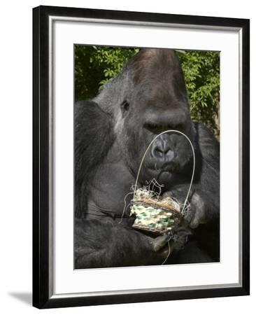 Male Lowland Gorilla with an Easter Basket Given to Him by His Keepers at the Cincinnati Zoo--Framed Photographic Print