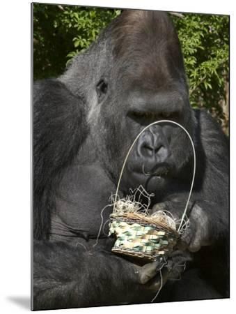 Male Lowland Gorilla with an Easter Basket Given to Him by His Keepers at the Cincinnati Zoo--Mounted Photographic Print