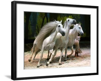 Horse Trainer Signals Three Lusitano Stallions to Tightly Circle Him During Cavalia Dress Rehearsal--Framed Photographic Print