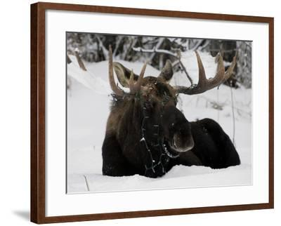 Bull Moose with Christmas Lights Tangled in its Antlers Rests in a Field in Anchorage, Alaska--Framed Photographic Print
